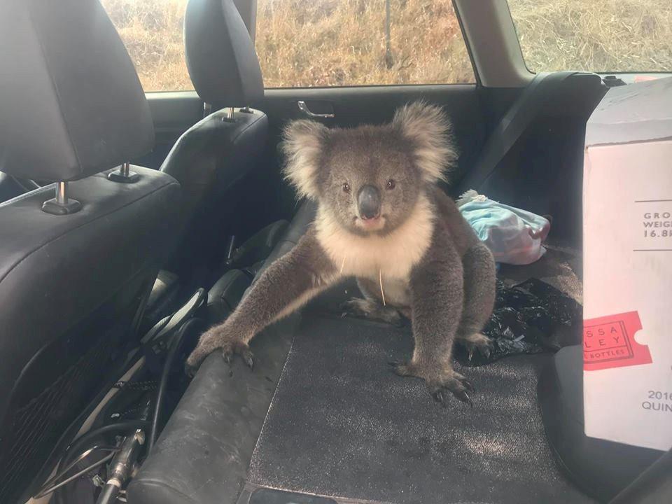 無尾熊一開始還不願離開車子,直到車主動手將牠趕下車子。路透/Newsflare