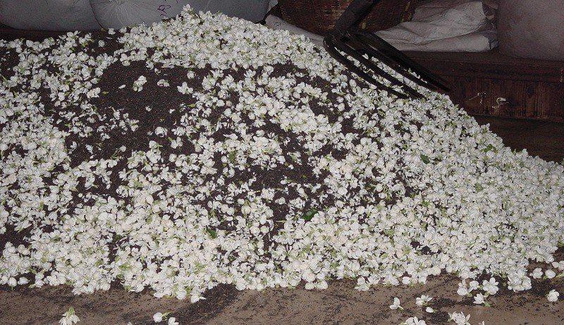 茉莉花茶的清香,不是單純來自於花的參雜,而是透過窨花,一層又一層讓茶葉吸收飽滿的...
