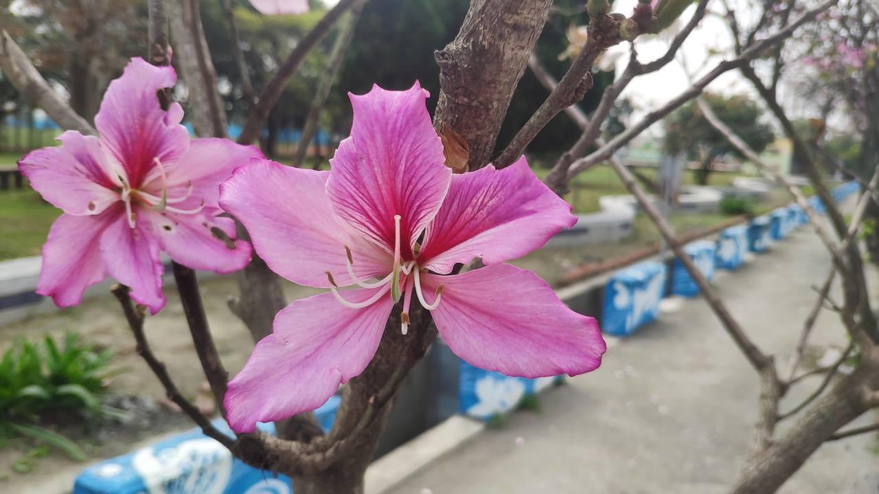 土庫羊蹄甲大道的花朵正值開花期。記者李京昇/攝影