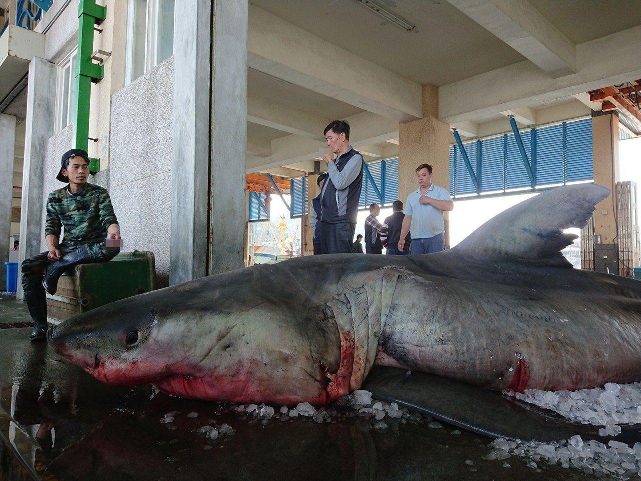 宜蘭海域前天捕獲大白鯊。圖/讀者提供