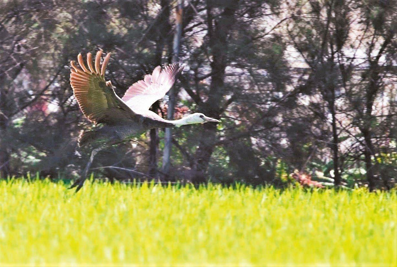 在台灣屬於極為罕見的迷鳥的白頭鶴,有鳥友最近在屏東縣199縣道車城鄉段旁農地驚喜...