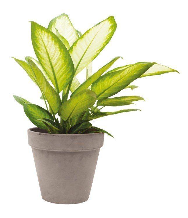 綠玉黛粉葉:樹液可能導致皮膚受到刺激。圖/摘自《今天起,植物住我家》