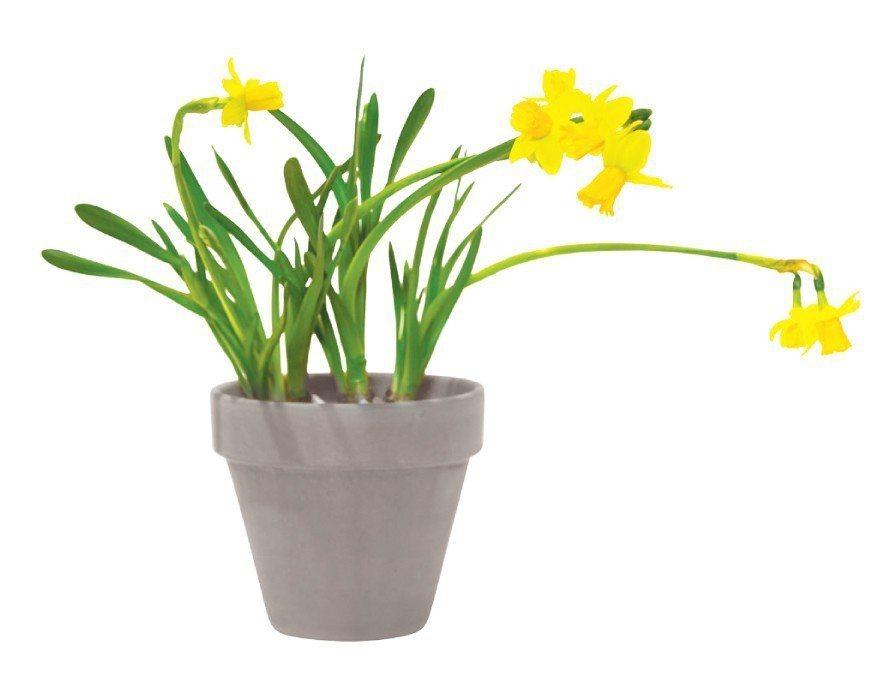 水仙:花朵、葉片和球莖都具危險性,寵物若食用,對口腔會造成強烈刺激,引起流口水、...