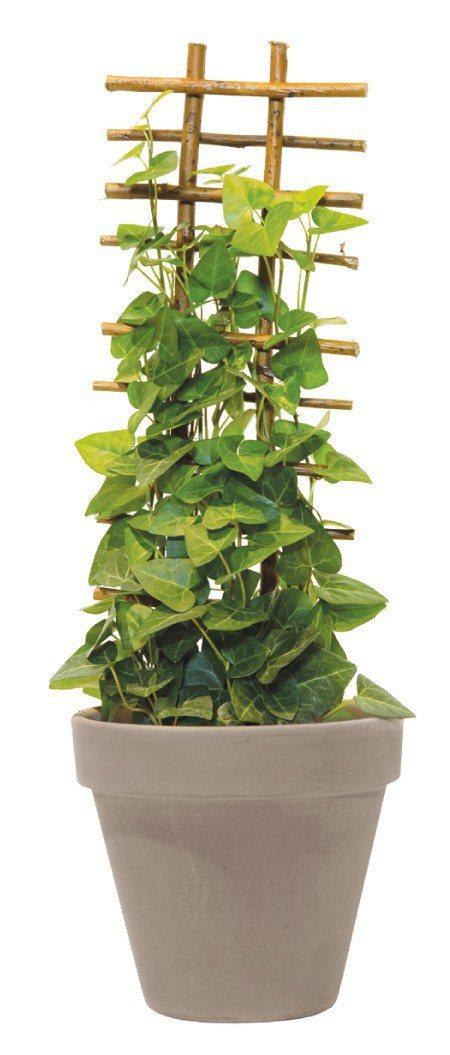 常春藤:常春藤屬註的植物都含有毒素,可能誘發胃病,最好避開。圖/摘自《今天起,植...