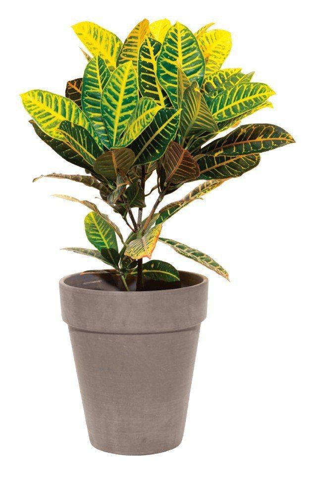 變葉木:根和葉的樹液具有毒性,食用後可能會導致腹瀉。圖/摘自《今天起,植物住我家...
