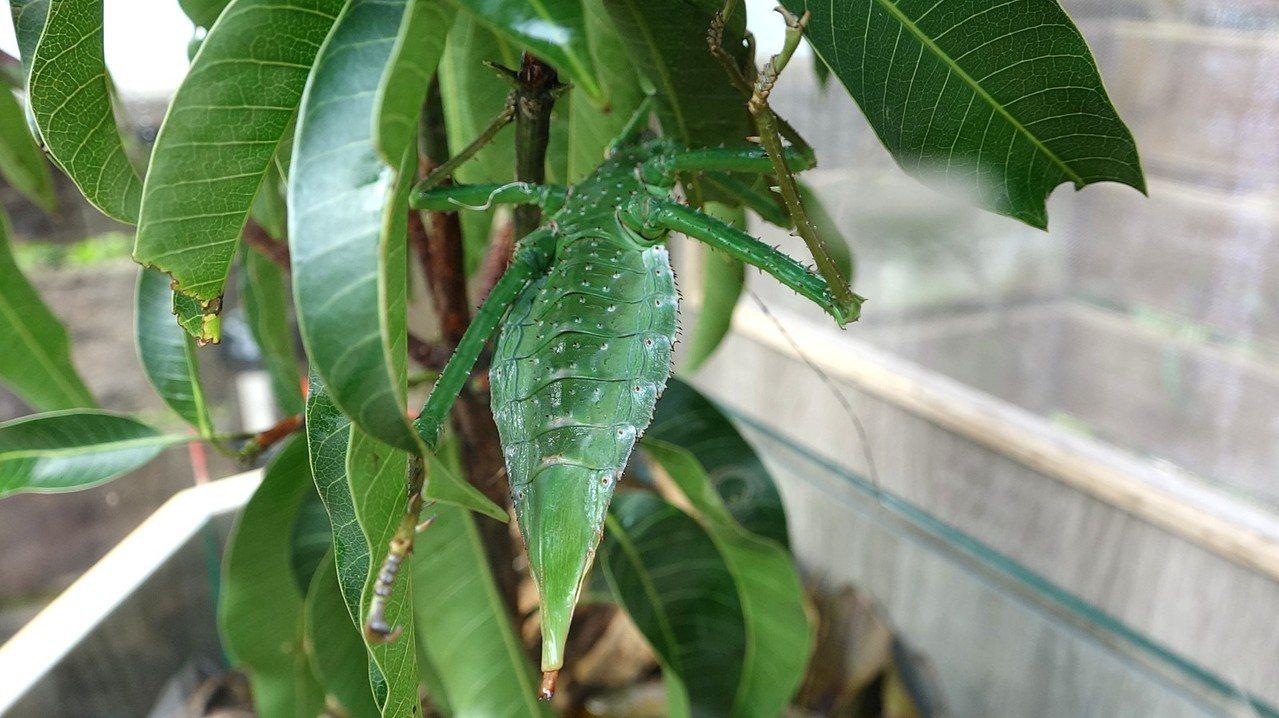 竹節蟲是偽裝大師。圖/台北市立動物園提供