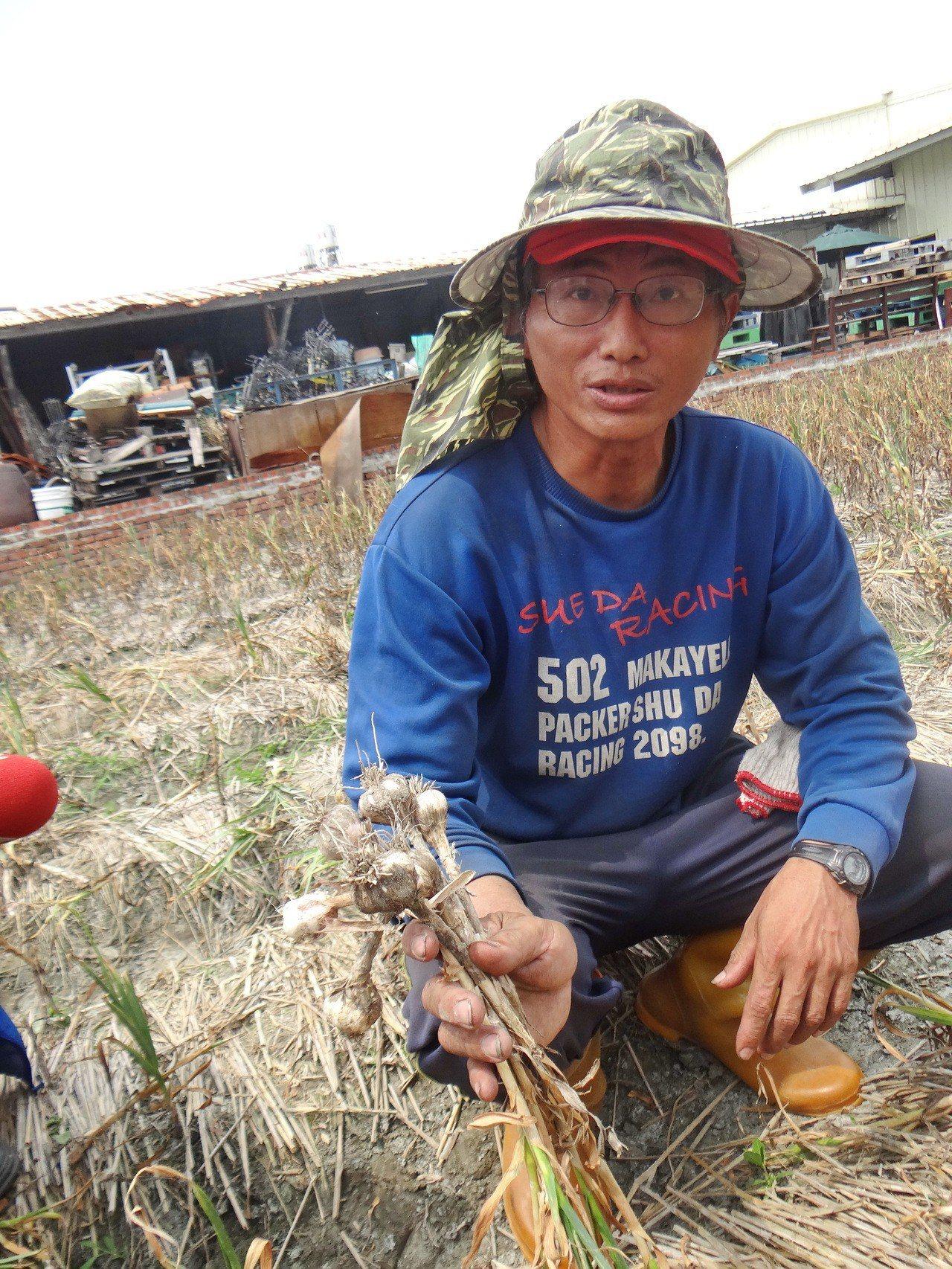 蒜農強調今年暖冬又少雨致蒜果長得很小。記者蔡維斌/攝影