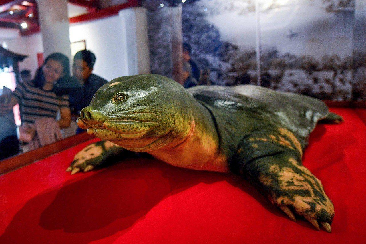 影/為何牠屍體獲國父級待遇? 認識越南「護國神鱉」
