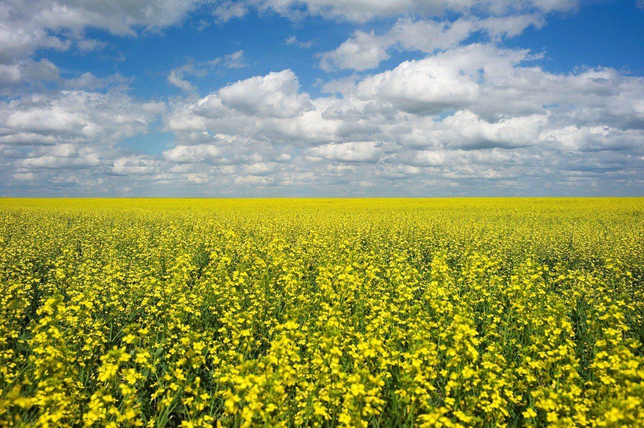 中國已經停止向加拿大購買芥花籽。 路透
