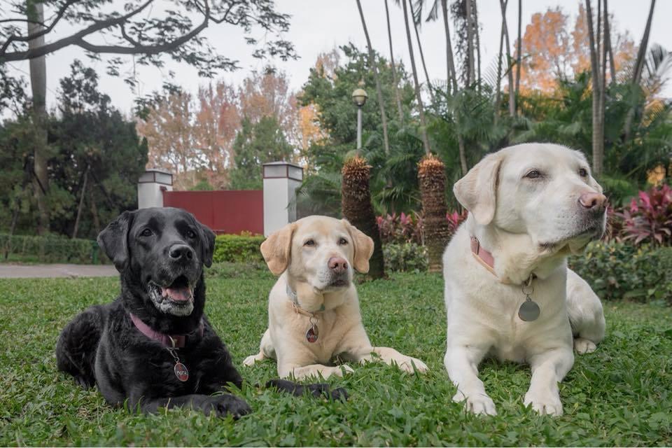 蔡總統領養的3隻退役導盲犬Maru、Bella、Bunny。圖/翻攝蔡英文臉書