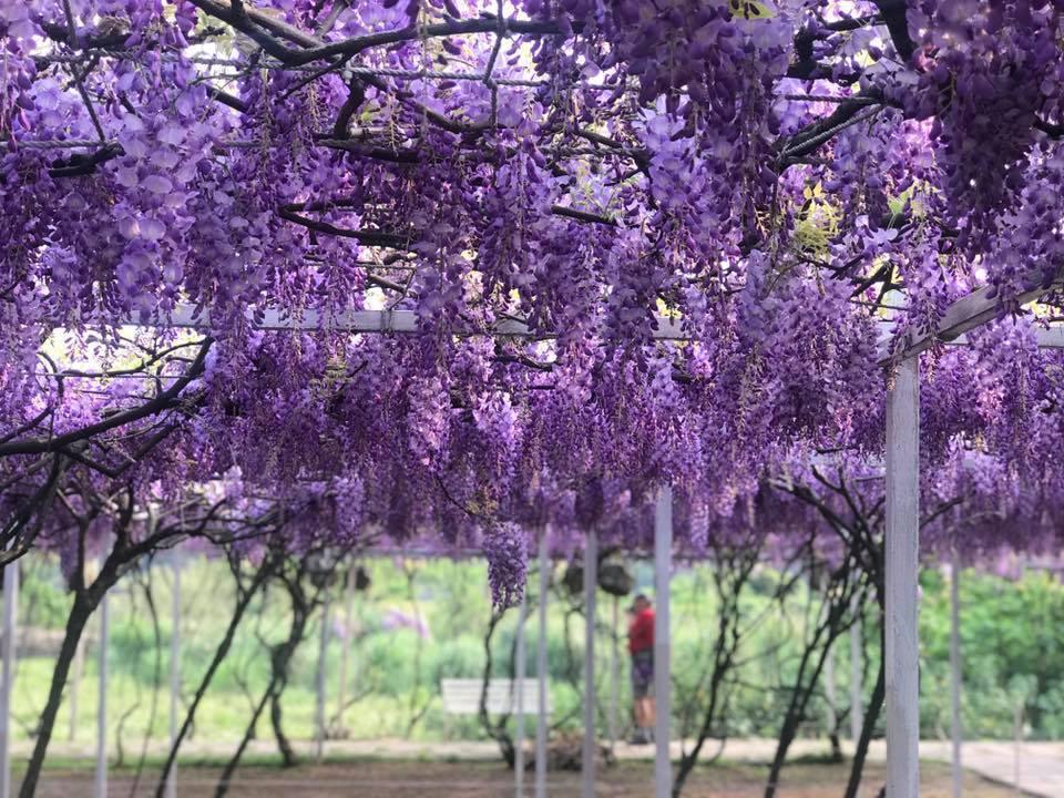 ▲春遊景點推薦-紫藤花。(圖/紫藤咖啡園(一店)(屯山園區))