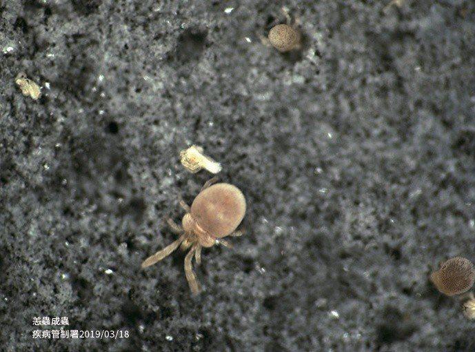 被帶有立克次體的恙蟎幼蟲叮咬會感染恙蟲病,未適當治療的病患中,死亡率可高達60%...