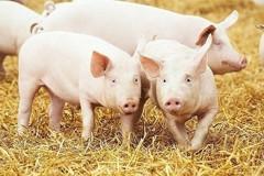 用AI養豬?這家公司員工30人 要顧大陸7億頭豬