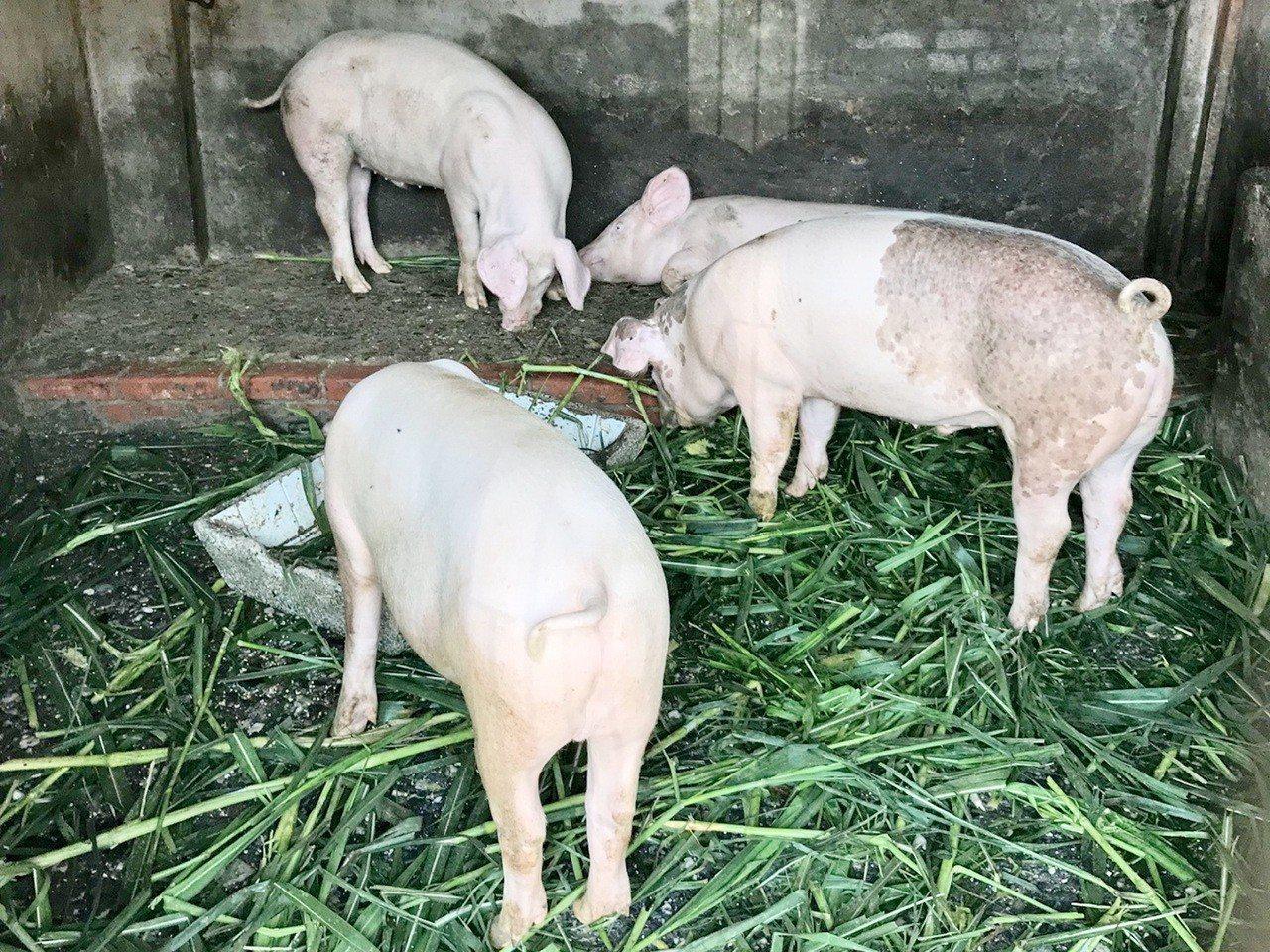 台東縣政府為防杜非洲豬瘟疫情,除縣內一家擁有「廚餘再利用許可證」的業者外,下月1...