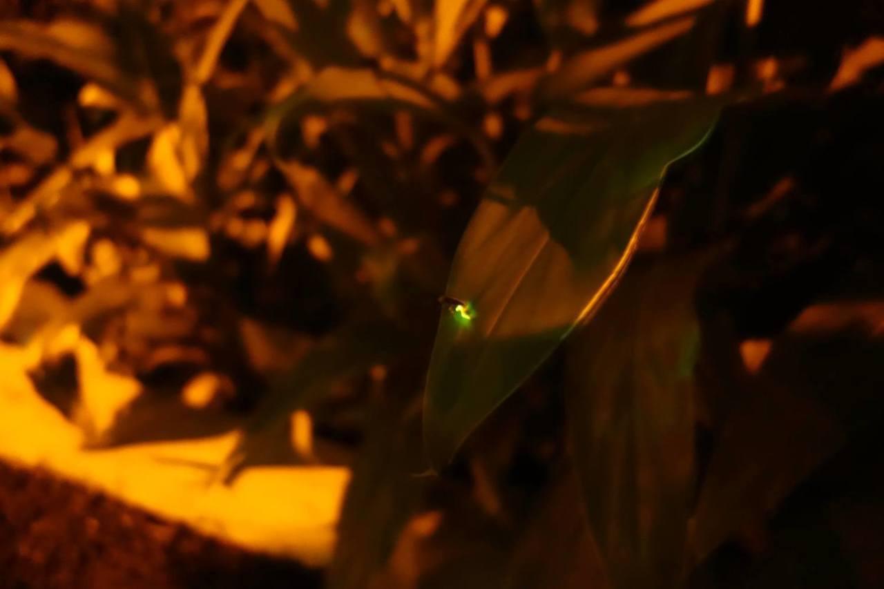 大安森林公園近年來成功復育螢火蟲,每年大約4月底左右可以看到。圖/摘自大安森林公...