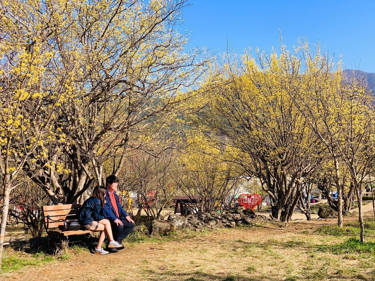 金黃色的山茱萸花綻放。記者張芳瑜/攝影