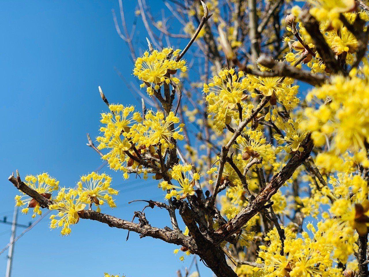 山茱萸花近看小巧可愛。記者張芳瑜/攝影