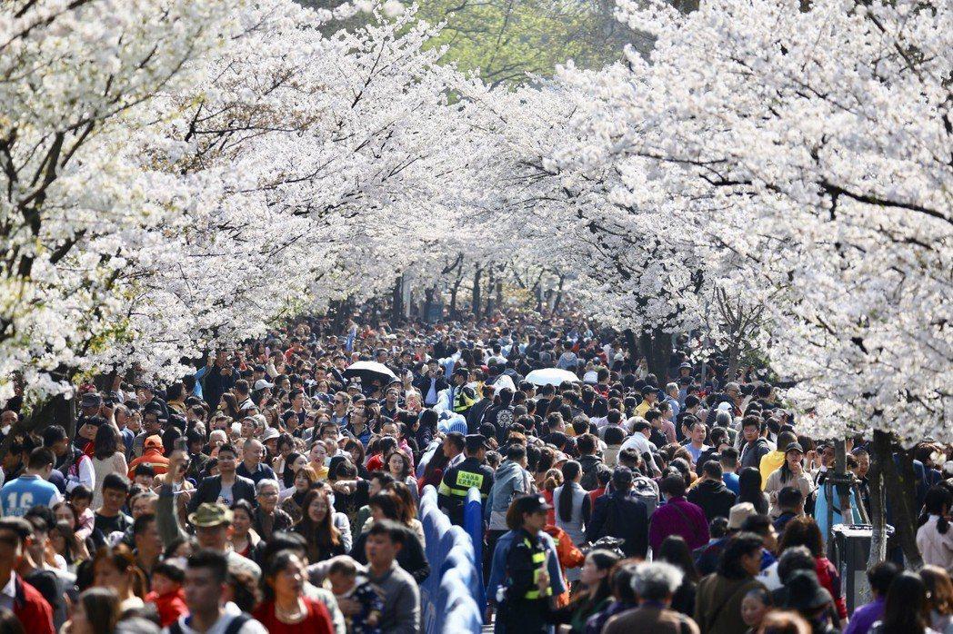 賞櫻走春蔚為熱門。圖為遊客在南京雞鳴古刹門前的櫻花大道上賞花拍照。 (中新社)