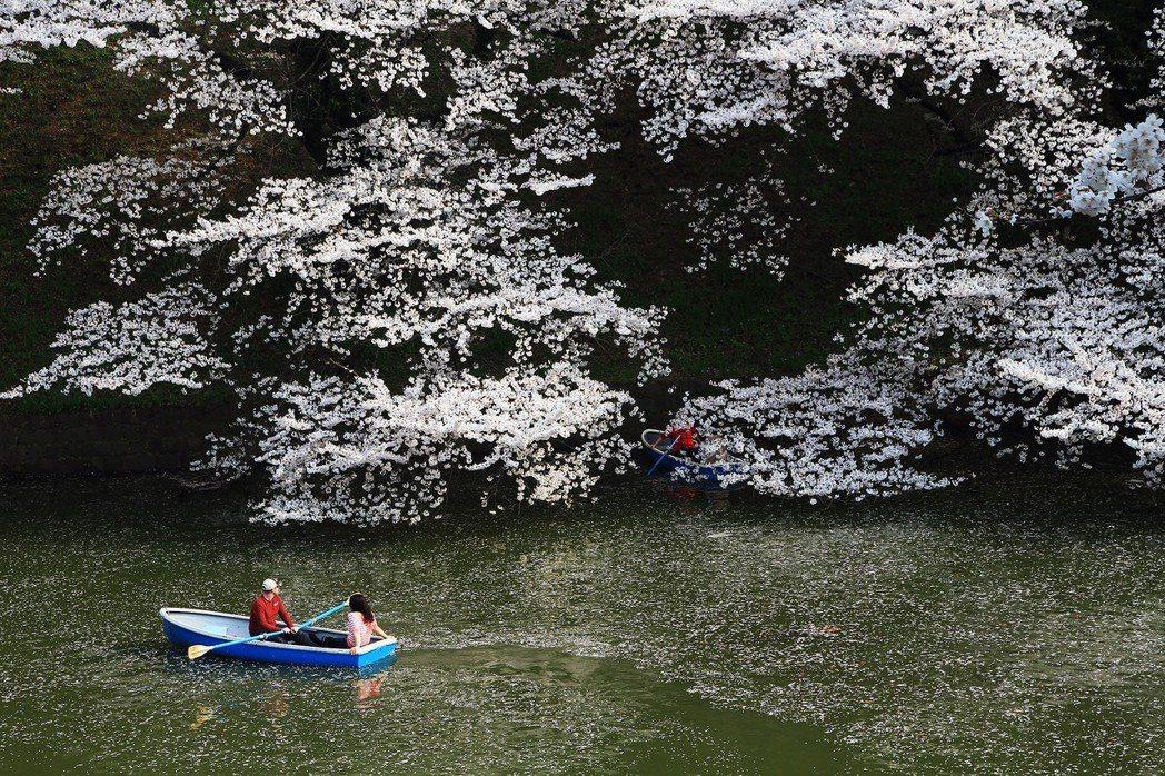 或許最近的幾年後,將再也看不到染井吉野櫻了?圖為東京的千鳥淵。 攝影/陳威臣