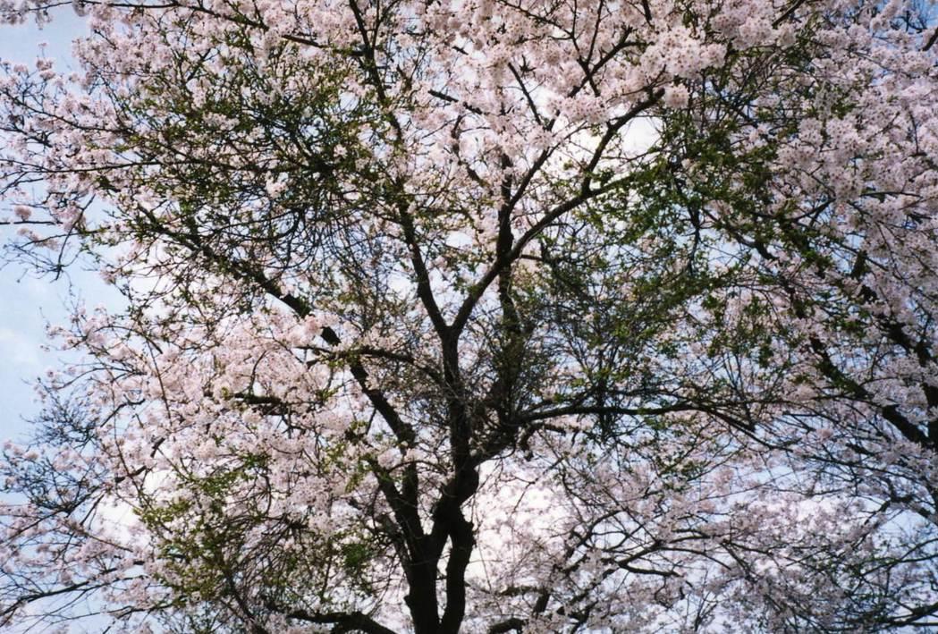 圖為罹患天狗巢病的病株,大量的綠葉與櫻花同時出現。 圖/日本花の会
