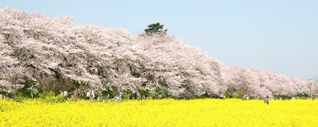 埼玉縣幸手市的權現堂公園,這裡的櫻花樹是在1949年之後陸續種植,樹齡都超過60...