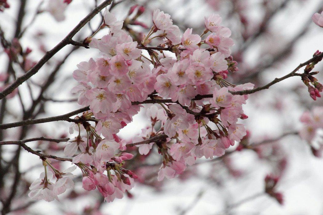 日本花之會提出新方案,將染井吉野櫻替換成新品種「神代曙」。圖為神代植物公園裡的神...