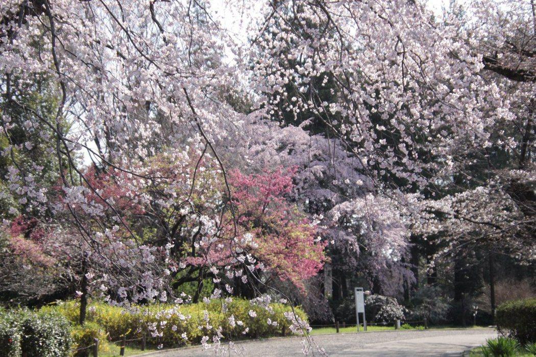 圖為神代植物公園裡的神代曙櫻花。神代曙的花型與色澤與染井吉野櫻類似,而且花期也雷...