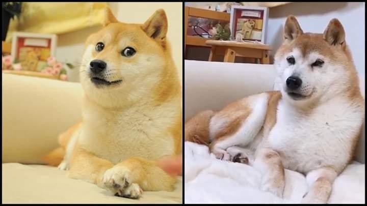 Kabosu的經典表情(左)與老奶奶的Kabosu。圖/擷自推特