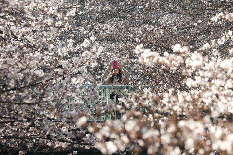 期盼遊客公德心自律,才能解救這些美麗櫻花、免於消亡的命運。 圖/歐新社