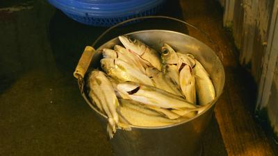 涂月華買了一桶魚,可能超過40尾。 圖/願景工程提供