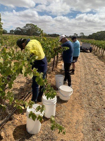 依照葡萄成熟的速度, 豐碩酒莊採用人工採收方式照片。 業者/提供