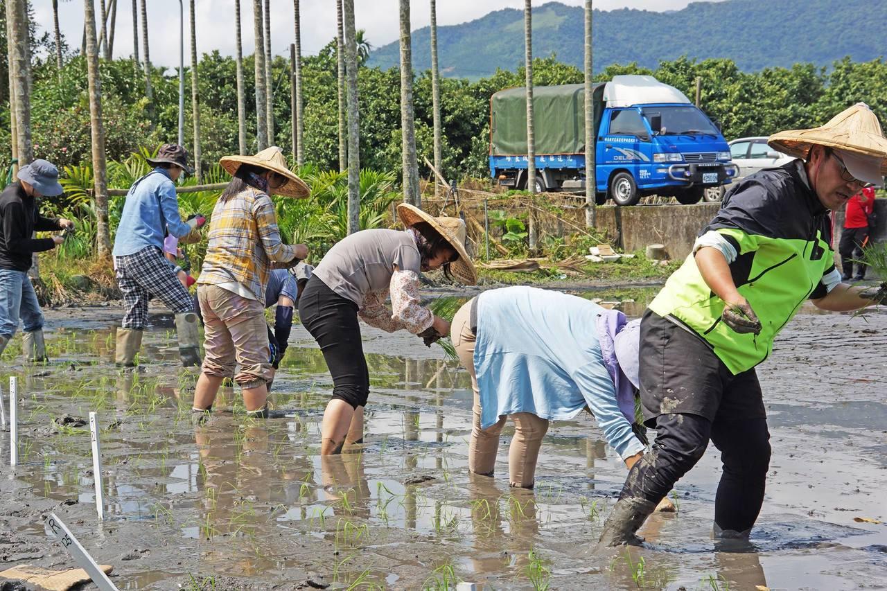 農改場與部落居民攜手復育稻作。圖/花蓮農改場提供