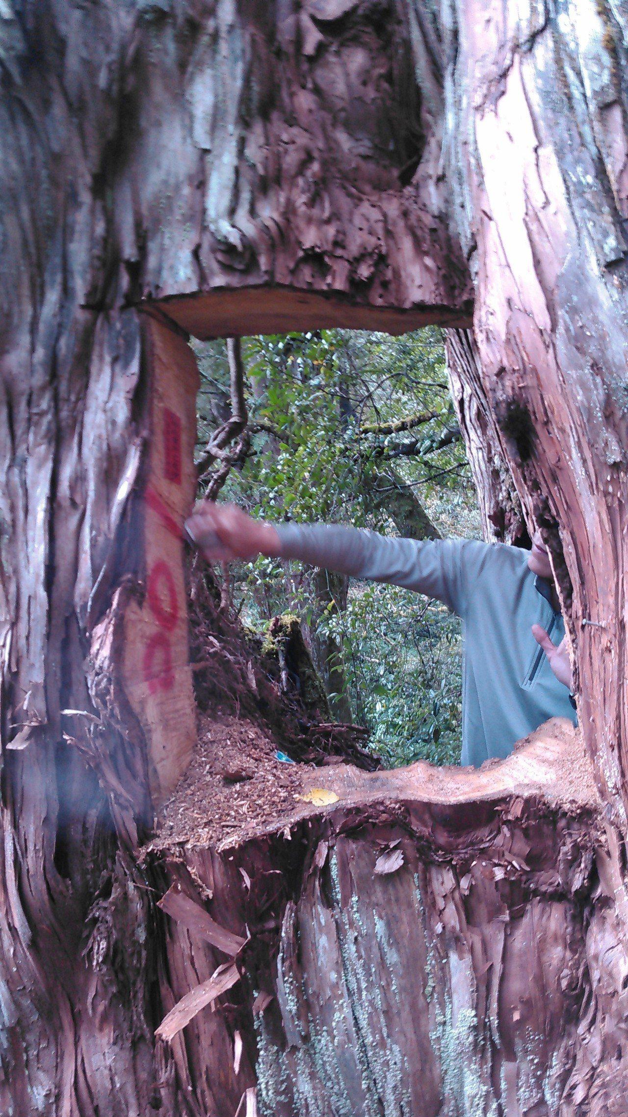 百年神木被山老鼠直接挖出一個洞,此舉容易造成樹木感染生病,水份與養份難以運輸而枯...