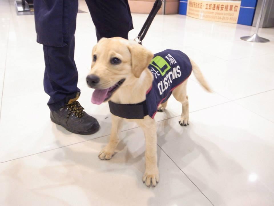 緝毒犬幼犬在機場進行社會化訓練。 圖/取自海關緝毒犬粉絲團