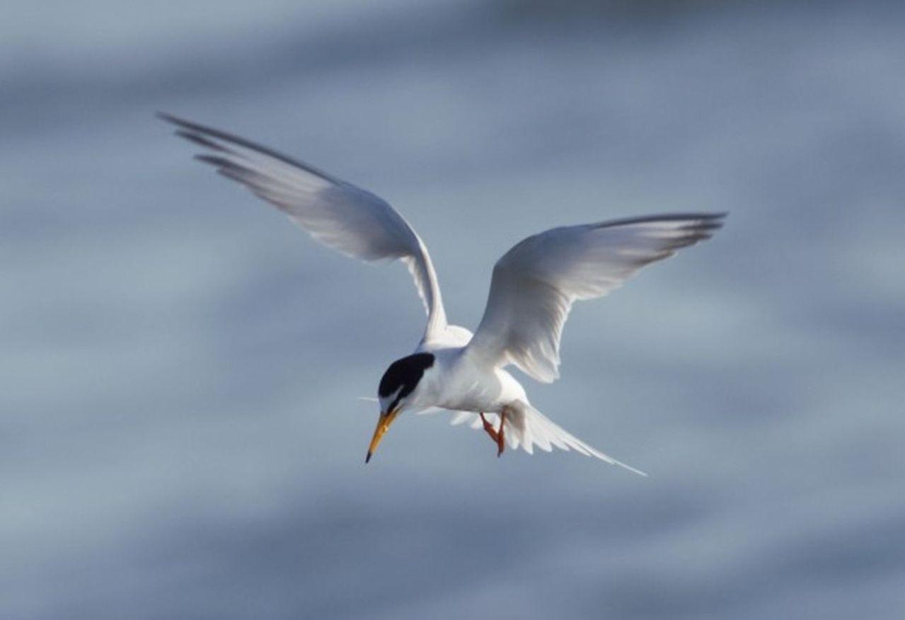 花蓮溪出海口是賞鳥好去處,常見鳥類多達42種,圖為小燕鷗。圖/林管處提供