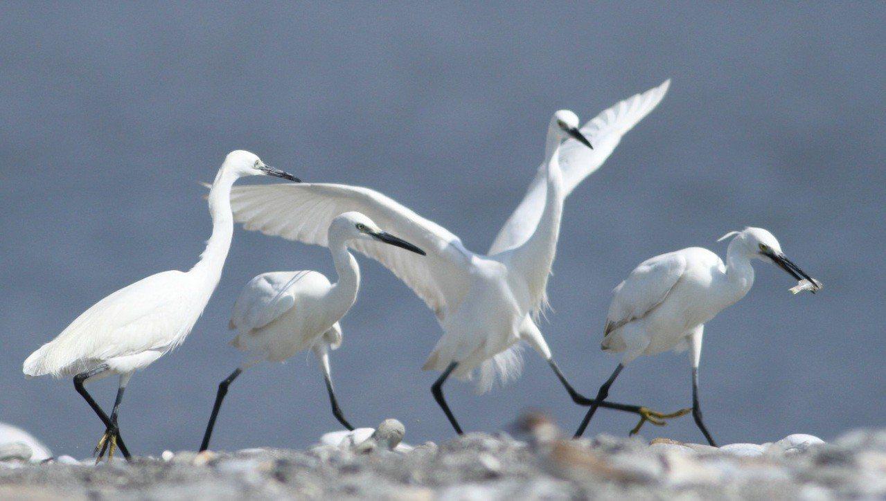 花蓮溪出海口是賞鳥好去處,常見鳥類多達42種,圖為小白鷺搶魚吃。圖/林管處提供