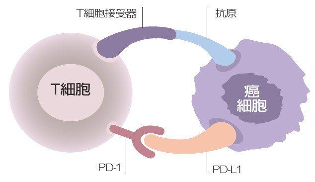 圖一左邊是T細胞,右邊是癌細胞。T細胞可識別癌細胞並攻擊。但癌細胞很狡猾,當...