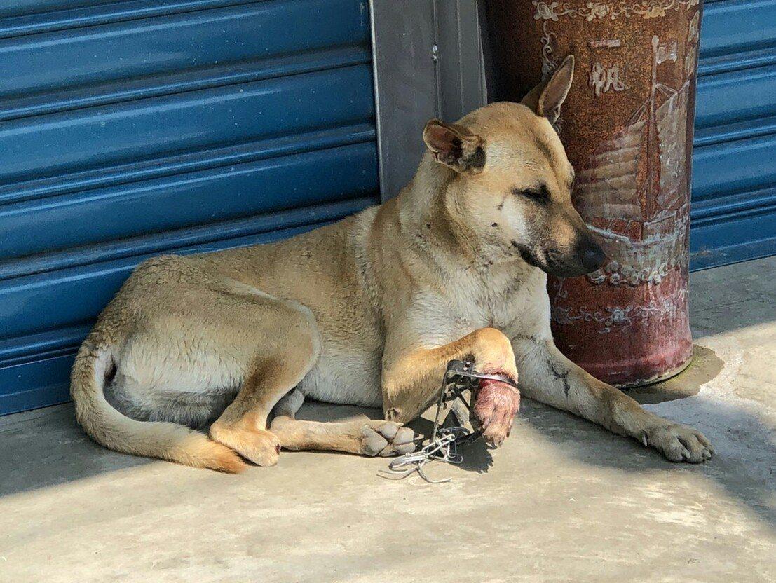 屏東縣政府最近接獲民眾通報,又有犬貓落入捕獸夾魔爪,這隻右腳掌被夾傷的狗,得面對...