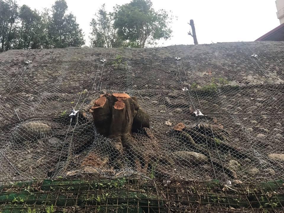 東豐自行車綠廊的東勢隧道口旁20多棵大樹慘遭砍伐,只剩下樹頭。圖/台中市議員陳清...
