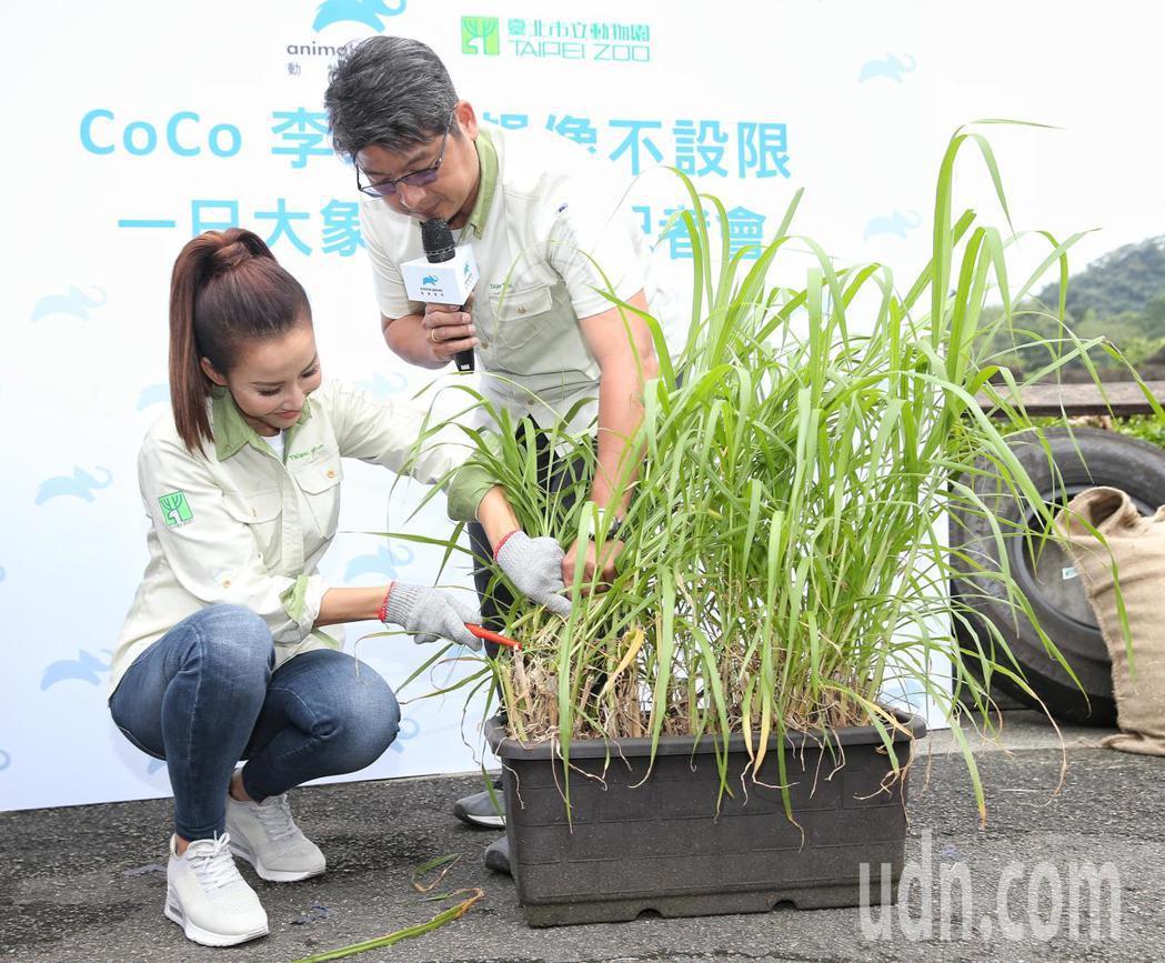 CoCo李玟(左)擔任一日動物保育員體驗照顧大象生活。記者鄭清元/攝影