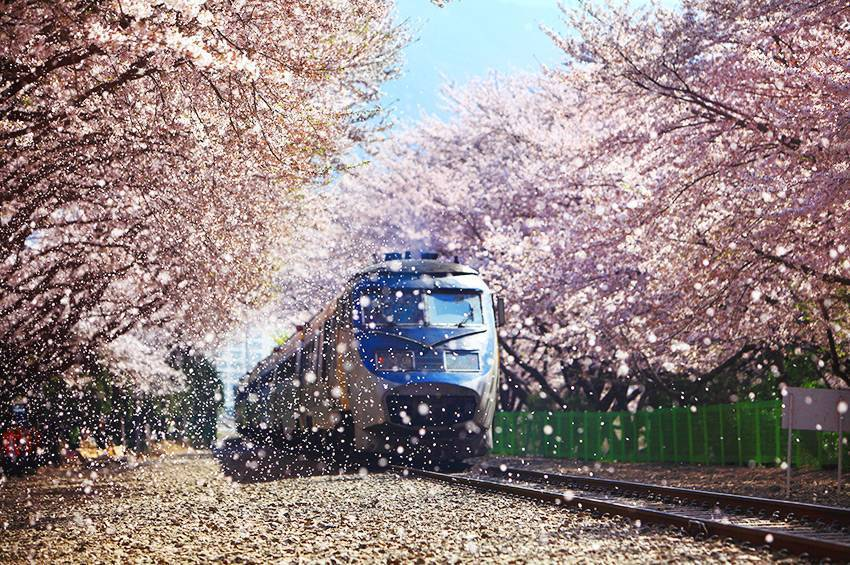 期間限定開放的慶和站,可以看見火車與800公尺的櫻花隧道。圖/取自韓國觀光公社官...