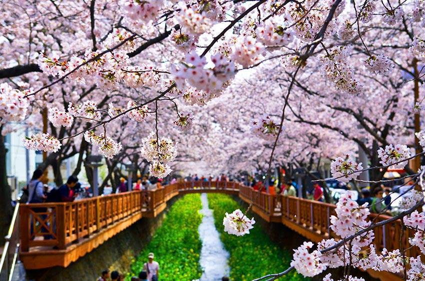 餘左川櫻花道兩旁盛開的櫻花海,總是吸引大批遊客前來。圖/取自韓國觀光公社官網