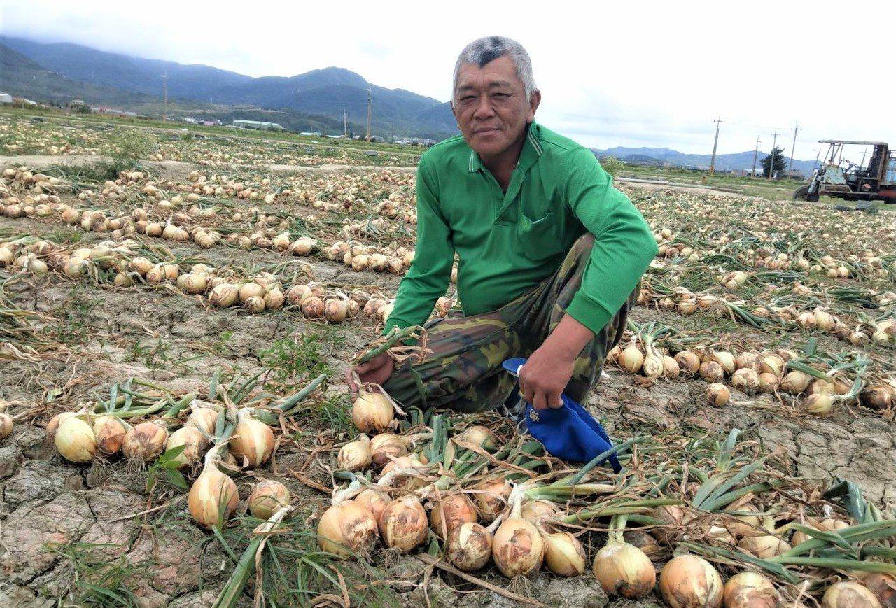 57歲屏東恆春蔥農王承志種的洋蔥,今年不僅大球比例比別人多出1倍,因這兩年配合政...