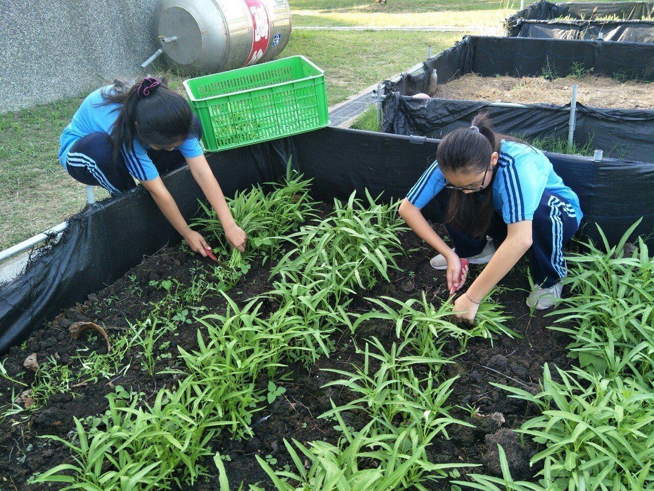 布袋國中學生在校園開闢農場,友善栽種蔬菜。記者謝恩得/翻攝