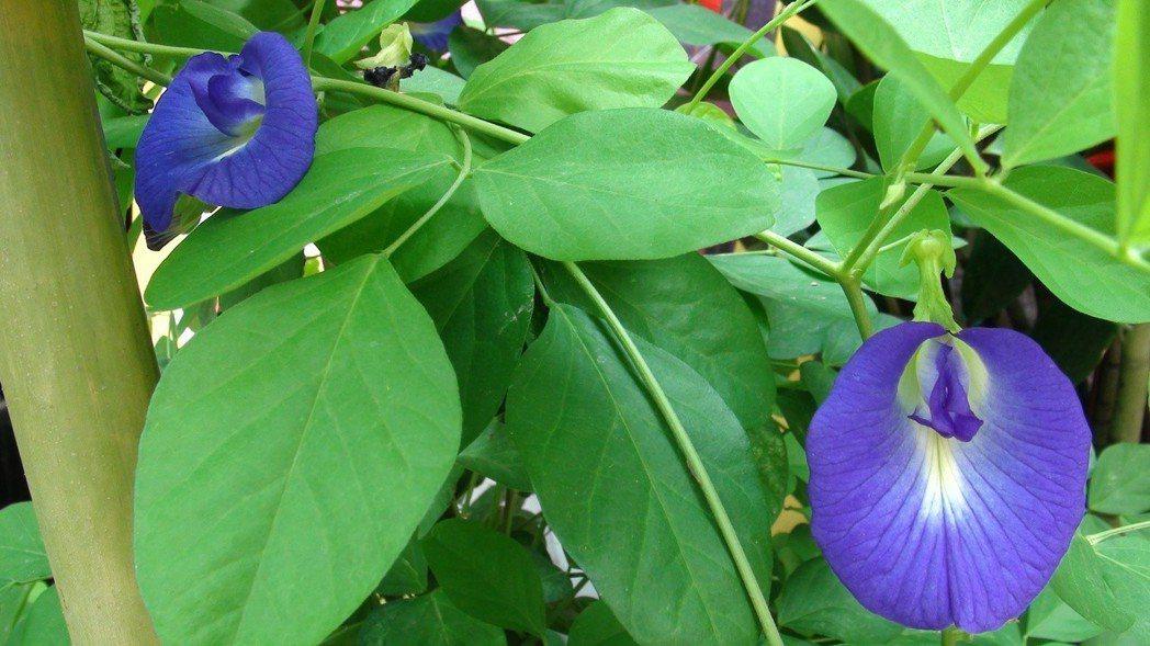 蝶豆花原產於東南亞,不少人也在家種植。本報資料照片