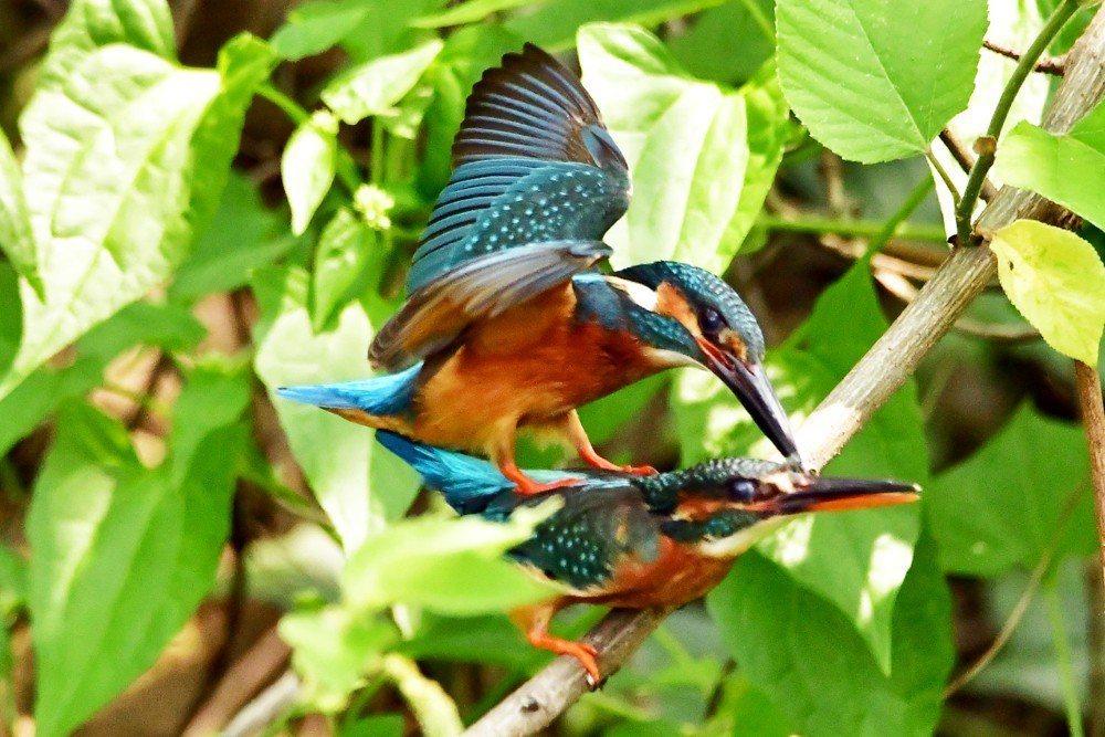 台南市東區巴克禮公園內有「全台灣最乖的翠鳥」,當著鳥友的片就演起活春宮。圖/鄭緯...