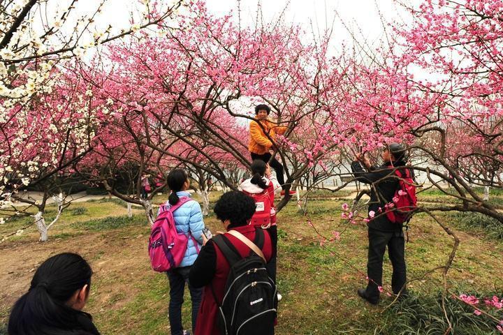 香港媒體報導,大陸遊客為求照片新穎,會爬到樹上拍照,導致樹上開滿了「中國大媽」。...