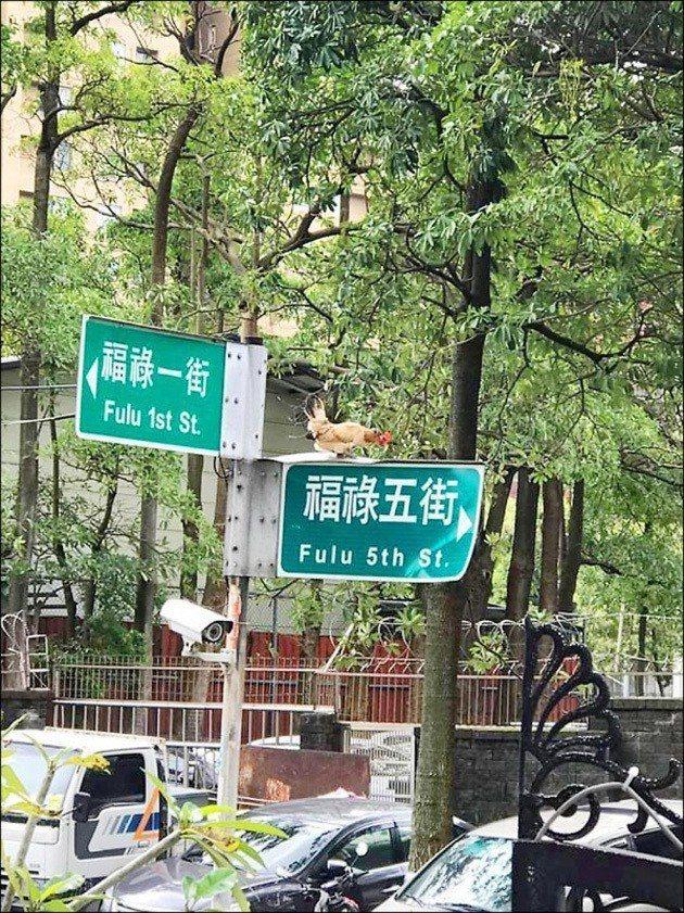 桃園市陳小姐飼養的2隻「起家雞」落跑停在樹上、電桿停留擾人清夢,最後懸賞6000...