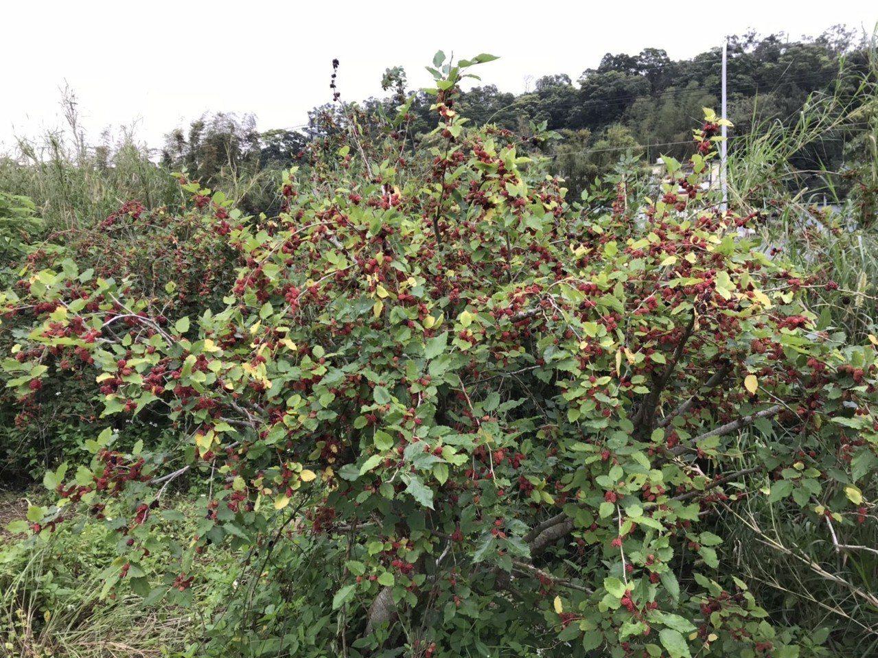 苗栗縣銅鑼鄉內公有地種植桑椹結實纍纍,吸引民眾享受採果樂趣。記者范榮達/攝影