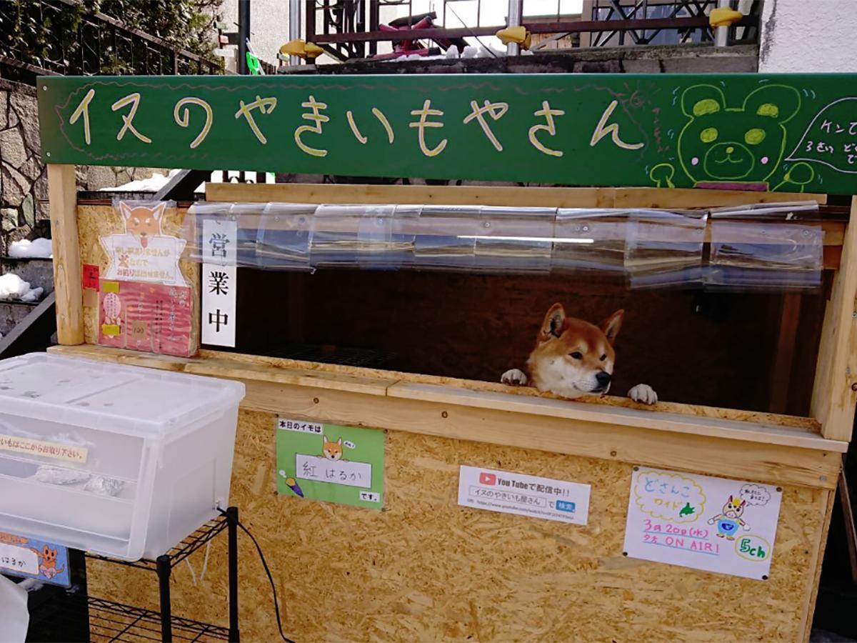 日本一名網友,日前在北海道直擊到一間賣烤番薯的小攤,老闆居然是一隻柴犬,於是立即...